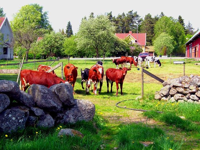 Iloisia lehmiä