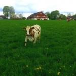 Lehmän onnea 5